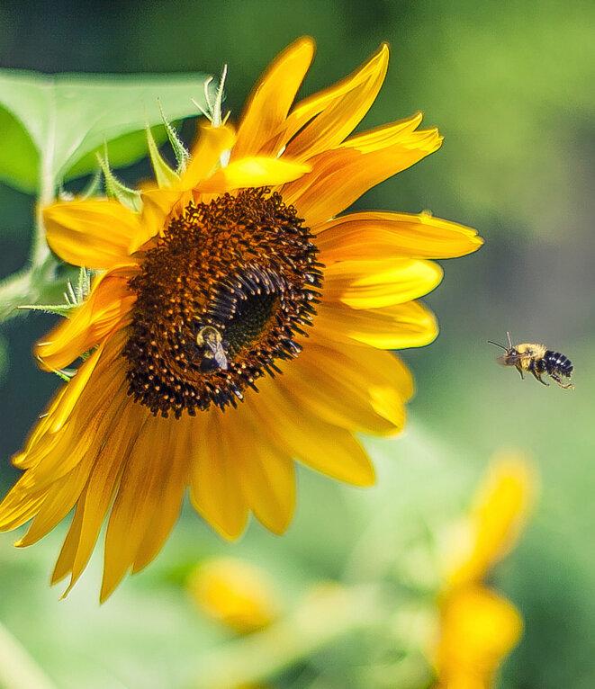 Bees_sunflower_pesticides_CREDITKyle-Garrity_Flickr