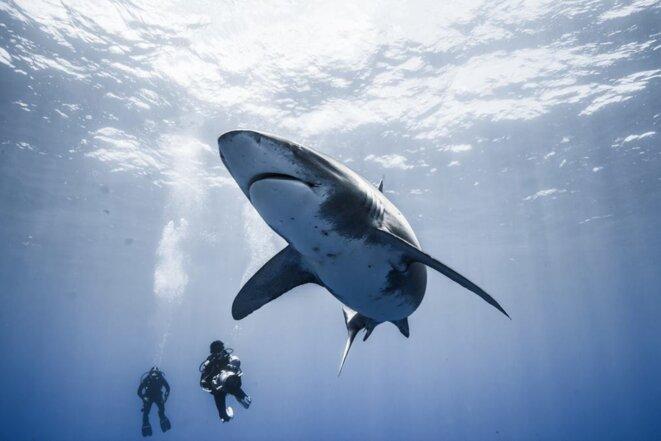 Plongée avec un longimanus au large des bahamas, une réputation de mangeur de naufragé, aujourd'hui il ne reste que 5% de sa population de l'Atlantique. Photographie Alex Souliler. Le plongeur équipé d'une caméra est Jean-Charles GRANJON.