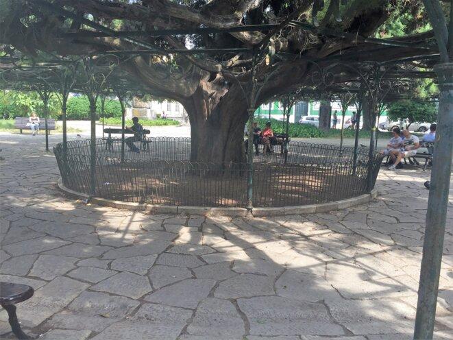 Le fameux cèdre multicenteneraire dans un parc de Lisbonne © jpt