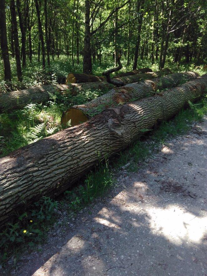 fûts de chênes abattus par l'ONF à Fontainebleau