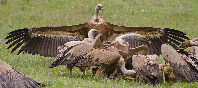 vautours-en-bande