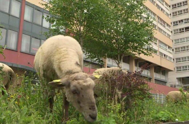 des-moutons-en-ville