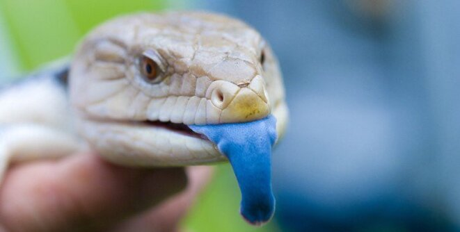 langue-bleue