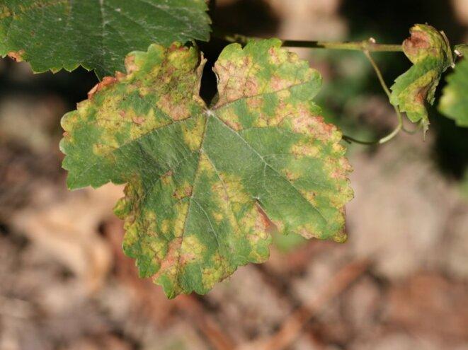 Vigne attaquée par le mildiou. Source : https://www.sciencesetavenir.fr/nature-environnement/agriculture/mildiou-l-agriculture-bio-ne-veut-plus-du-cuivre-et-de-la-bouillie-bordelaise_120005