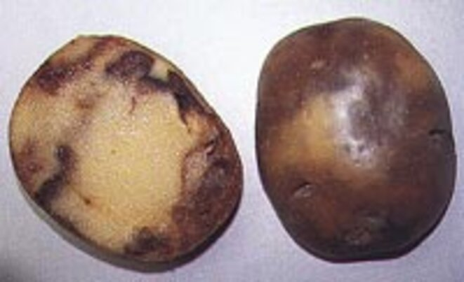 Pomme de terre ravagée par le mildiou. Source : http://plantdepommedeterre.org/index/mildiou