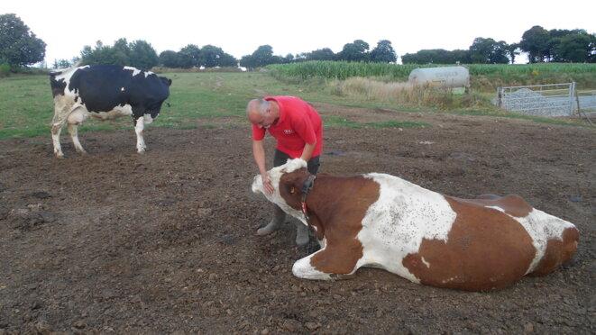 Christophe Thomas auprès de l'une de ses vaches malades. © IL/Mediapart