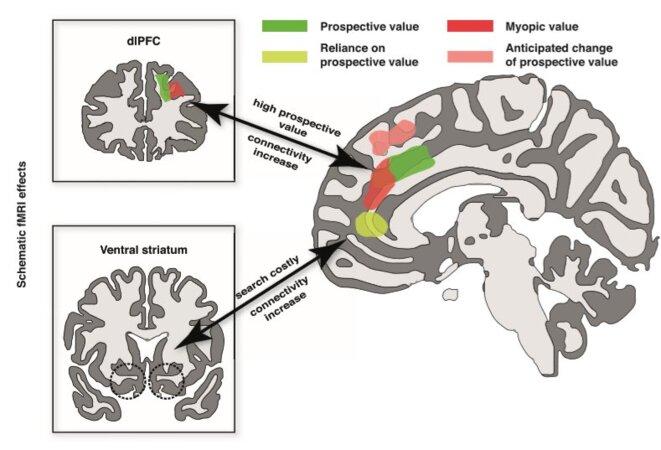 Les régions cérébrales associées aux composantes « prospective » et « myope » sont représentées en vert et rouge : cortex préfrontal dorso-latéral (dlPFC, en haut à gauche) et dorso-médian (dmPFC, à droite). Lorsque la composante prospective était élevée, les cortex dlPFC et dmPFC augmentaient leur connectivité (double flèche du haut) et la région indiquée en jaune était plus active. Cette dernière était davantage associée au striatum ventral lorsque la recherche d'emploi avait un coût. © Neuron
