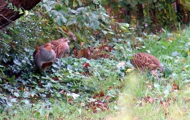 Poules faisanes réfugiées dans un jardin lors de la chasse