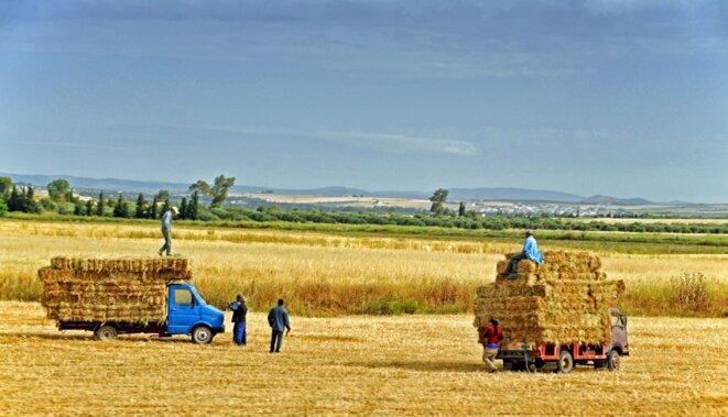 Récolte céréalière © Dennis Jarvis/Flickr