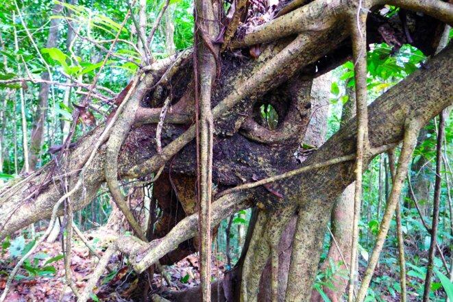 Forêt du Majimbini, dite forêt primaire © daniel gros