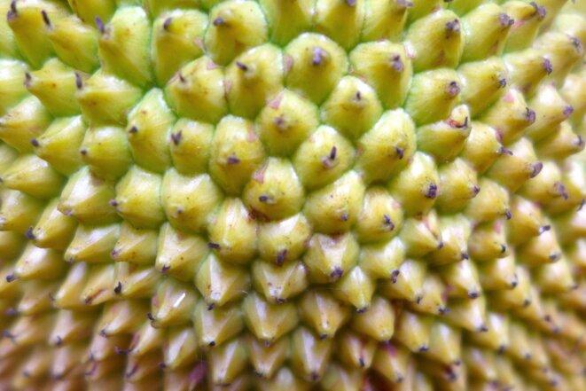 Mfenessi, fruit du jacquier © daniel gros