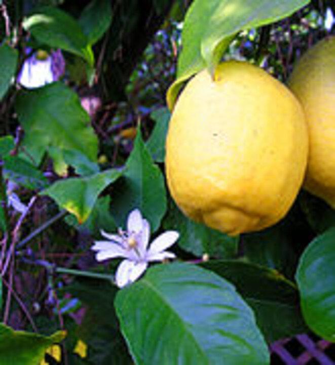 Fleur et fruit de citron © wikipedia