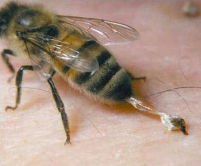 abeilledard-1