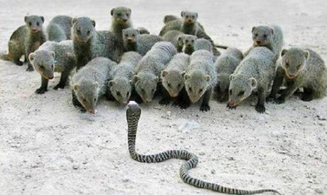 Mangoustes contre serpent