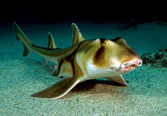 requin-de-port-jackson