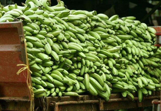 Des bananes impropres à la consommation sont stockées dans un camion à Capesterre, en Guadeloupe. © Reuters