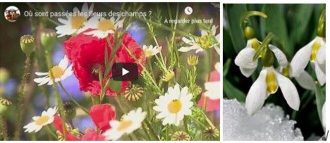 fleurs-ou-sinon-dans-la-neige-perce-neige