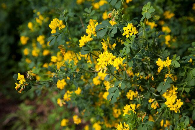 Coronille, plante vivace qui résiste au froid, à la sécheresse, et fleurit longtemps. Particulièrement éclatante au printemps.