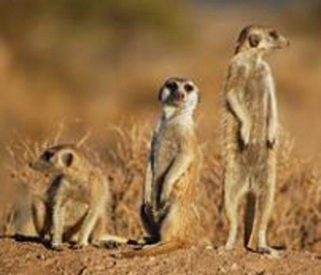 le-suricate