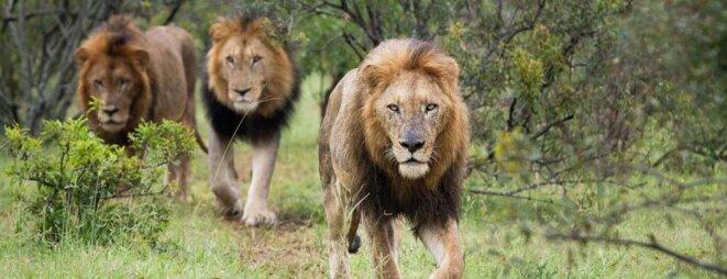 des-lions