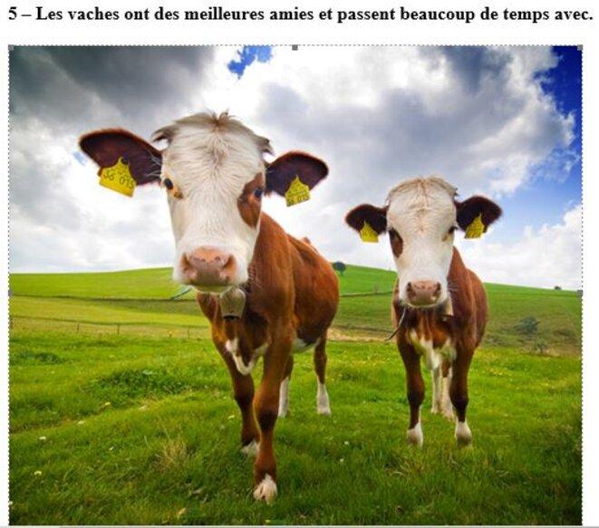 les-vaches-aiment-vivre-avec-leurs-amies