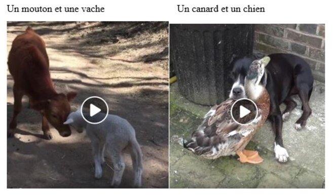 mouton-vache-canard-chien