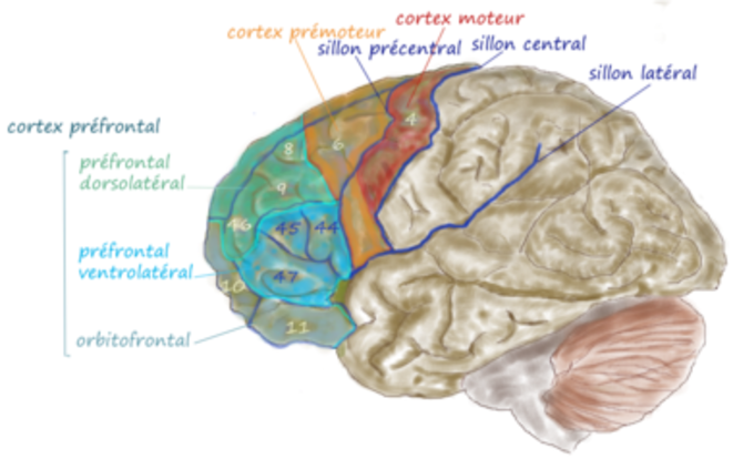 Vue latérale du lobe frontal © Wikipedia