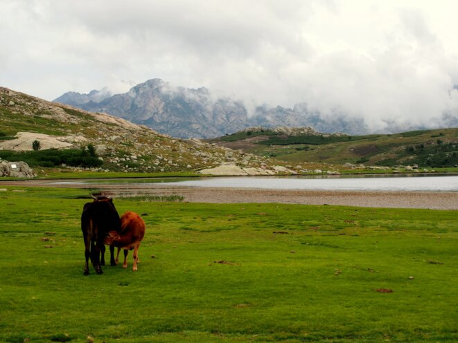 vaches-corses-photo-libre-de-droits