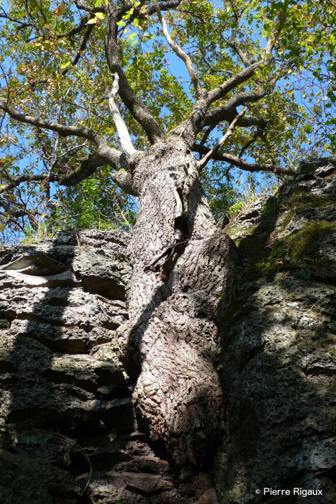 Chêne poussant dans la pierre © Pierre Rigaux
