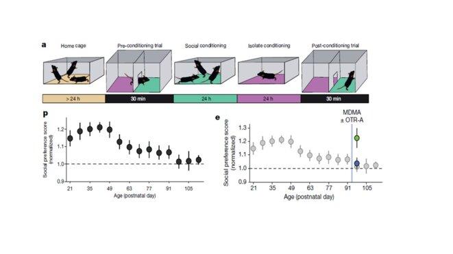"""Figure 1. Les souris ont une période sensible sociale dépendante de l'ocytocine. a) protocole pour mesurer la """"sociabilité"""" des souris. p) évolution au cours de la vie de la souris de sa """"sociabilité"""". e) les souris peuvent redevenir """"sociables"""" après la période critique sociale via l'ocytocine. A partir de Romain Nardou et al., Nature. 2019 May;569(7754):116-120"""