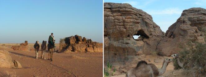 Dans l'Aïr, à l'Ouest du Ténéré : récupération des trois dromadaires qui, bien qu'entravés, se sont échappés dans la nuit. Dromadaires au repos. (Niger)