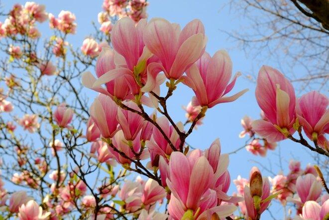 magnolia-2199922-960-720