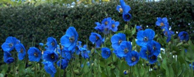 Pavot bleu de l'Himalaya © nextews.com