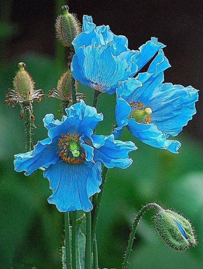 Pavot bleu de l'Himalaya Meconopsis betonicifolia © Partage FB