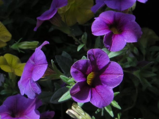 fleur-bleue