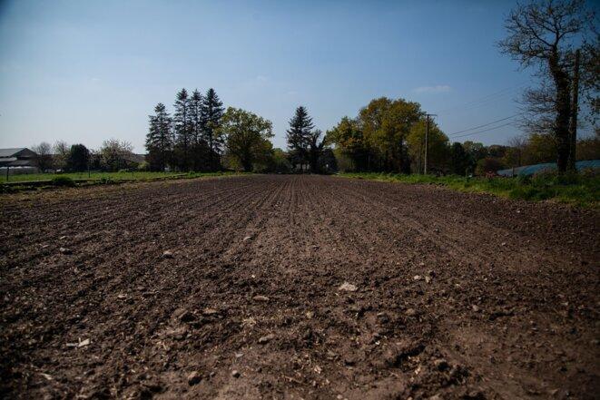 Le champ de petits pois de Bertrand Chevalier, agriculteur pour le groupe D'aucy à Noyal-Muzillac. © Sarah Hadrane