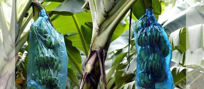 Une bananeraie en Guadeloupe en 2002. (Charles Platiau/Reuters)