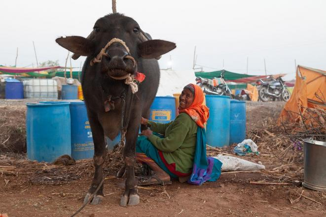 Lilabai Virkar en train de traire sa bufflonne à Satara, dans le Maharashtra (Inde), en février 2019. (Photo : Medha Kale, People's Archive of Rural India)