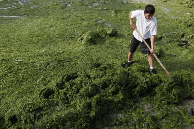 Des algues vertes sur la plage de Saint-Michel-en-Grève (Côtes-d'Armor) en 2010. © Reuters