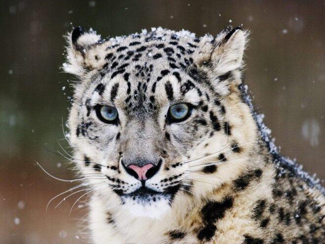 La panthère des neiges, une espèce menacée.