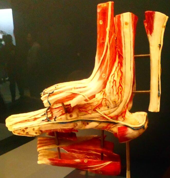 Faculté de médecine de l'Université de Montpellier, conservatoire d'Anatomie - Pied gauche, papier mâché et métal © FHEL Landerneau - Cabinets de curiosités
