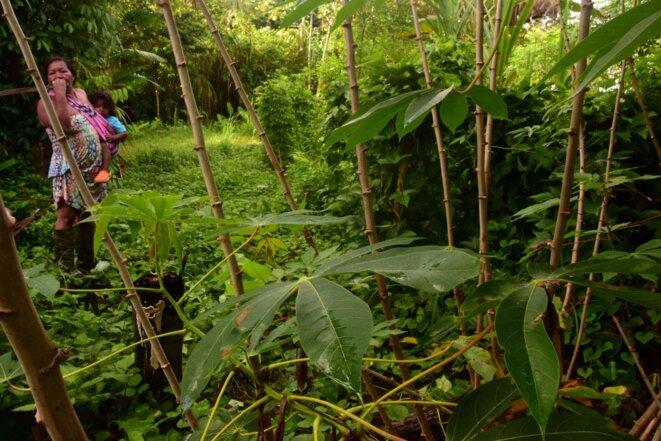 Jolanda Opoya dans son abattis. Au premier plan, le manioc. © MB