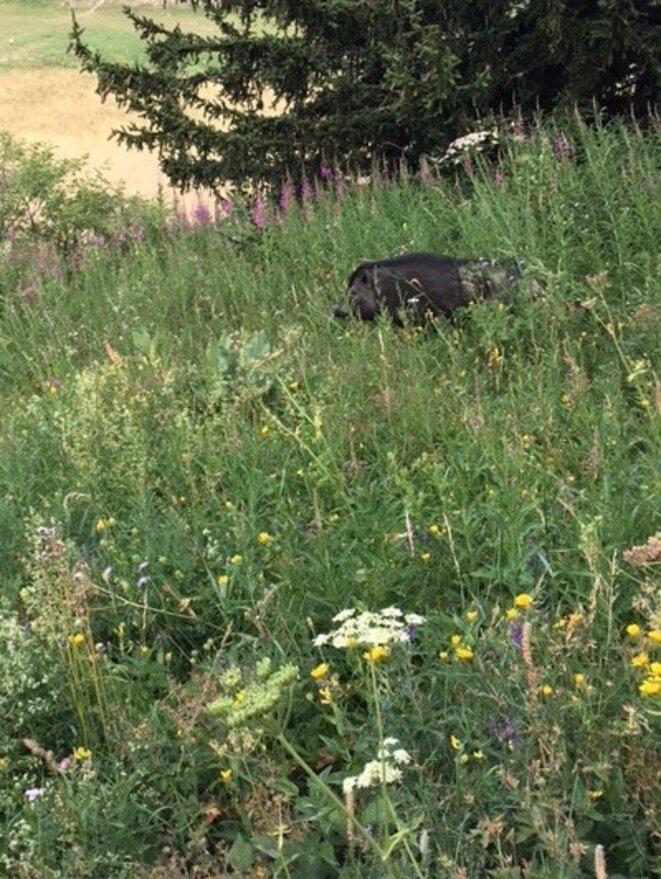 cochon-noir-1