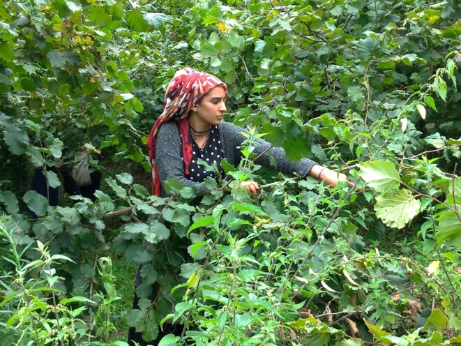 Saisonnière kurde récoltant des noisettes. © NC