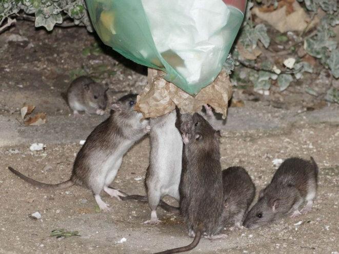 rats-poubelle