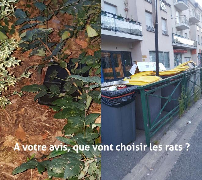 A votre avis, que vont choisir les rats ? Poubelles ouvertes ou appâts ?