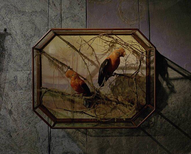 """Yann Mingard, Sans titre, chapitre """" Evolution"""", Coffret d'encadrement de """" Coq-de-roche péruvien"""" de Rowland Ward, Vente aux enchères """"Evolution"""", Billingshurst, Grande-Bretagne, le 25 novembre 2015 © Yann Mingard /Courtesy Parrotta Contemporary Art"""
