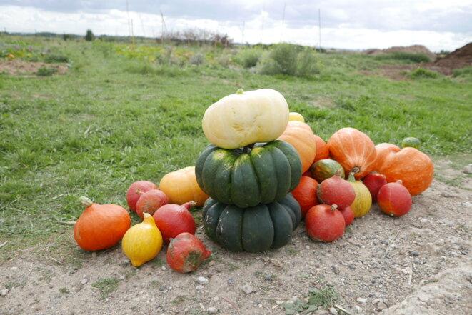 Les courges récoltées à Gonesse pour la soupe citoyenne du 4 octobre © Alice Le Roy