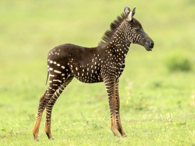 spotted-baby-zebra