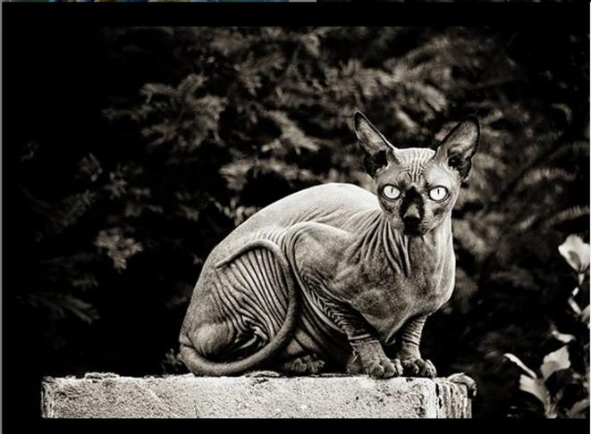 Sphynx © Luna TMG